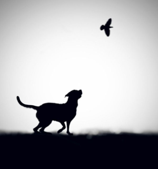 Black and White Silhouette | ©Hengki Lee.....for the baby chough killers in my life....grrr!