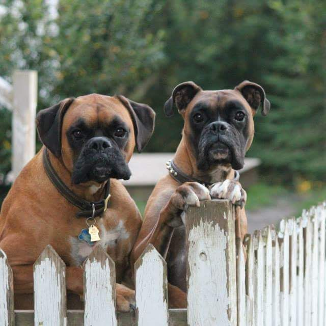 My beautiful boys (Jack and Dudley) dogpictures dogs