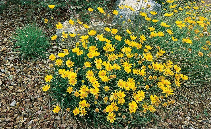 Angelita Daisy Last Drought tolerant Plants Zone 9 De32531 ...