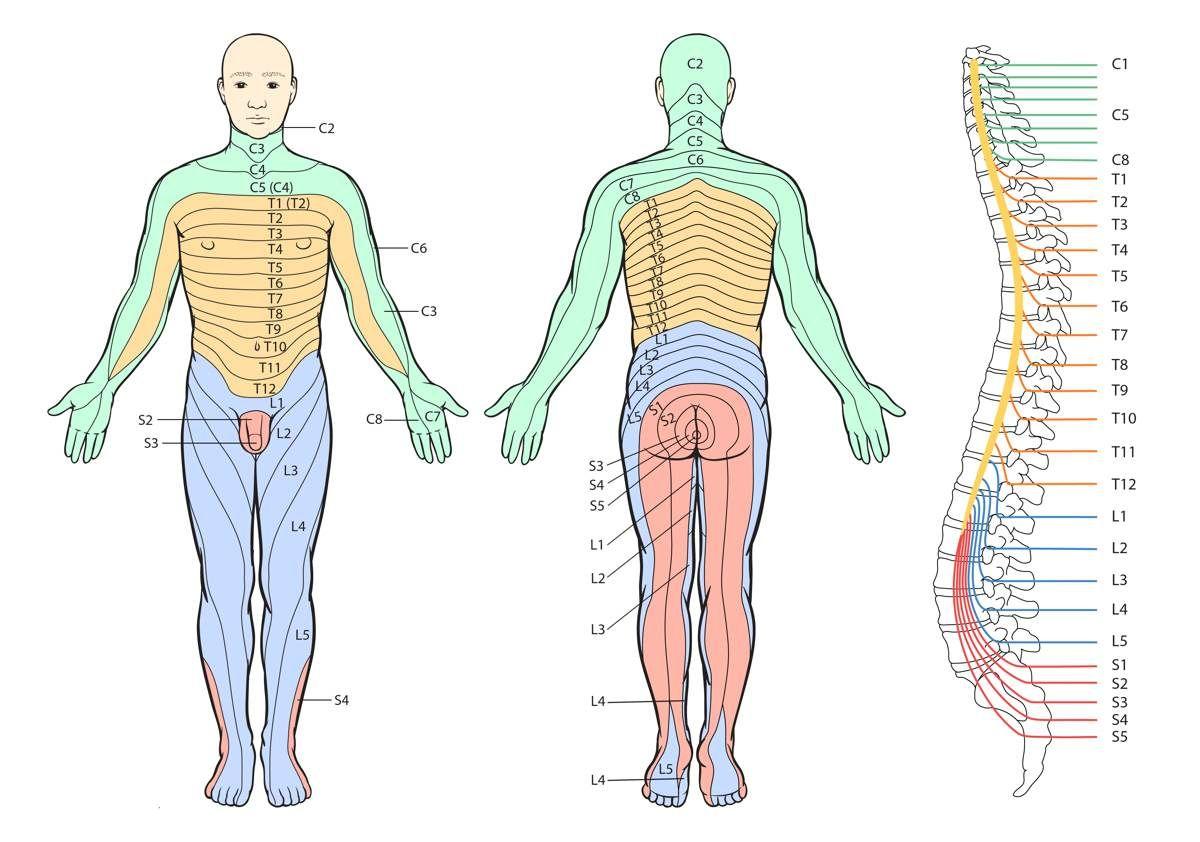 Dermatome chart | Pinterest | Gesundheit
