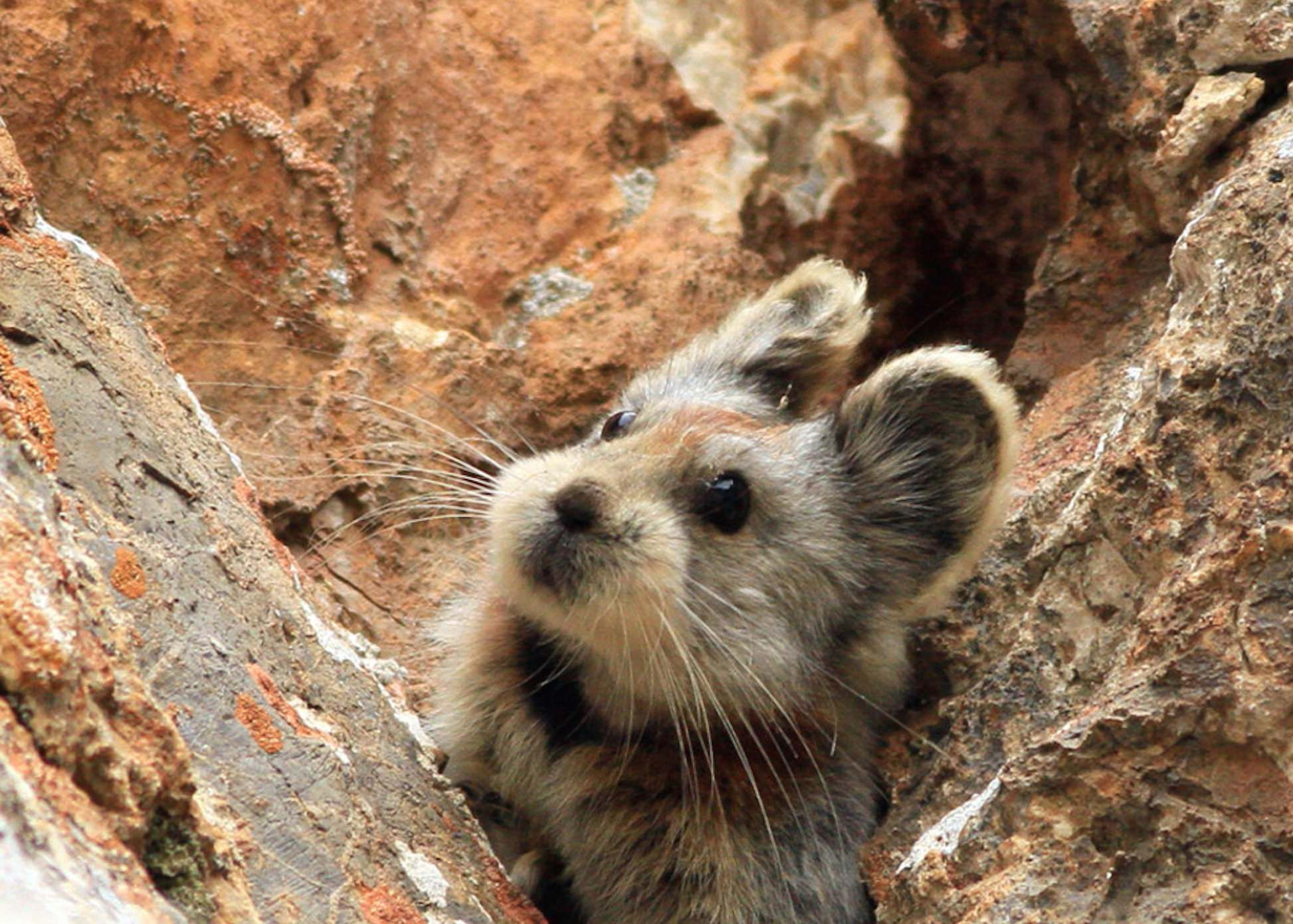The endangered and rare Chinese Ili Pika are not having