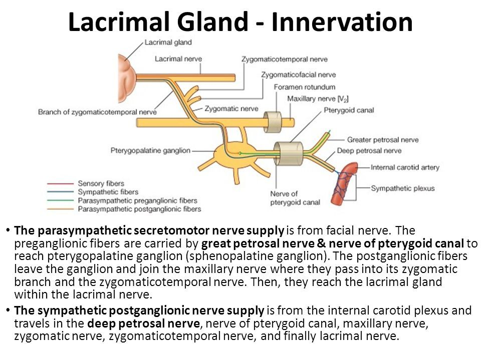 lacrimal gland innervation - Selo.l-ink.co