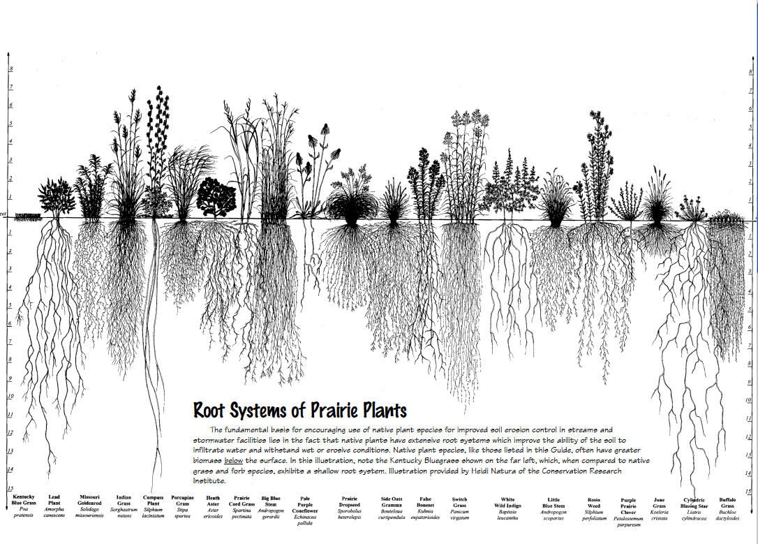 Prairie plants don't need watered and fertilized like a yard does. Once you see their root systems it's obvious why.