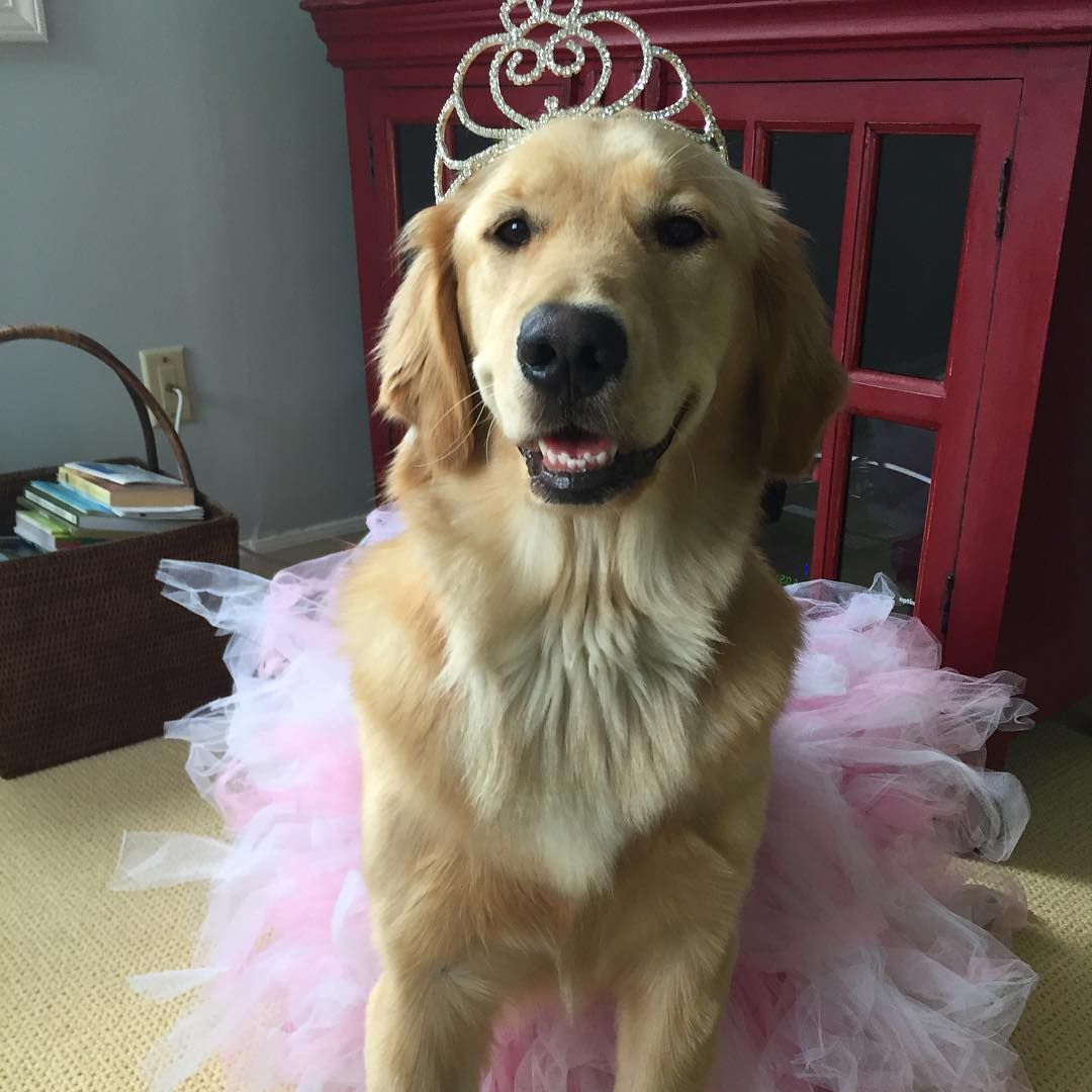 Lilly With Images Golden Retriever Dog Tutu I Love Dogs