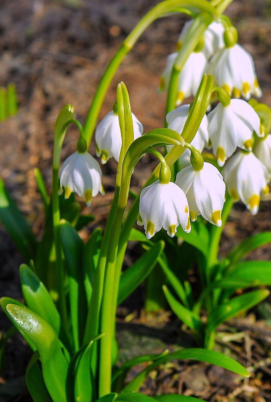Первые цветы картинки и названия