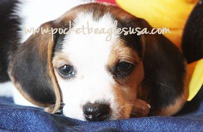 Www Pocketbeagles Small Pocket Size Beagles Tiny Beagles