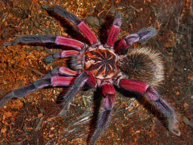 Tarantula ....Spider www.dierenplaza.nl