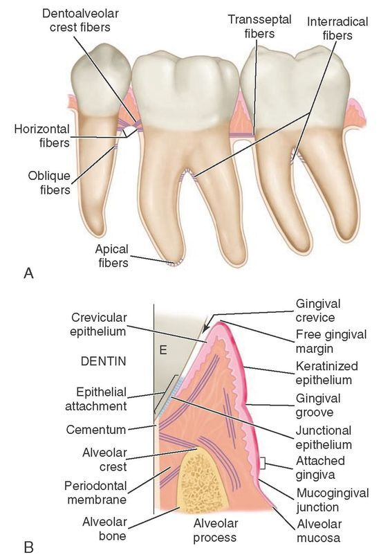 anatomy location terms of teeth | ... gingival tissue to the tooth ...