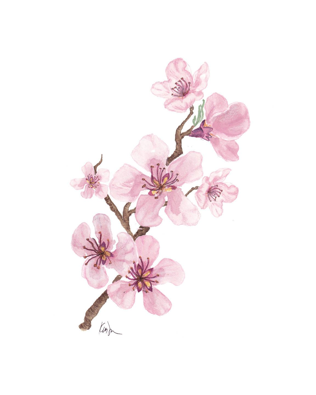 2010 Uw Cherry Blossom Photography Japanese Yoshinos Blossom Trees Cherry Blossom Tree Cherry Blossom Festival