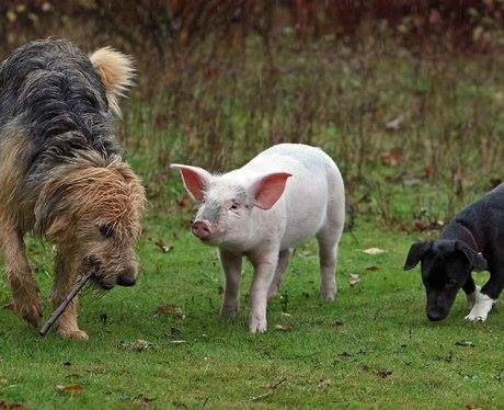 Did you know? Pigs are extremely playful and especially love