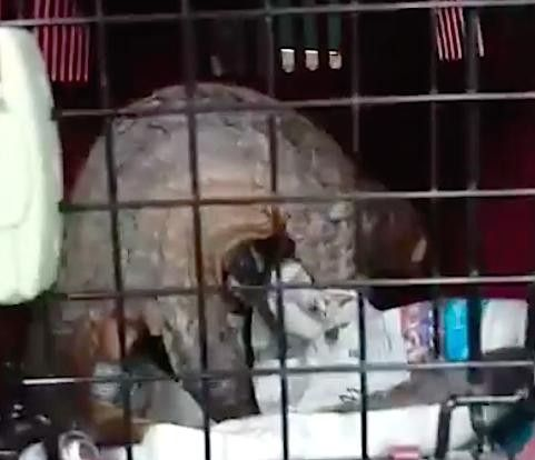 A critically endangered pangolin was rescued from a college dorm.