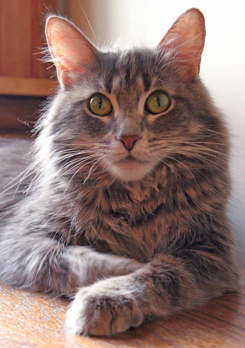 Adopt Mason on Australian cattle dog, Pets, Cats
