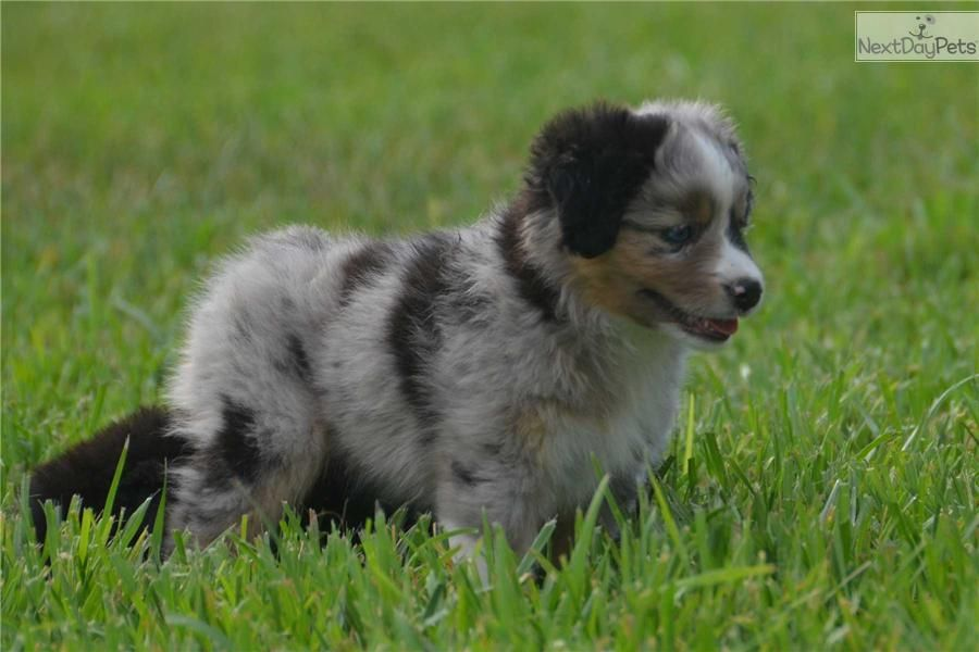 Toy aussie puppies for sale 500 near me