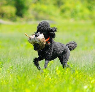 Black Standard Poodle Retrieving Bird Black Standard Poodle