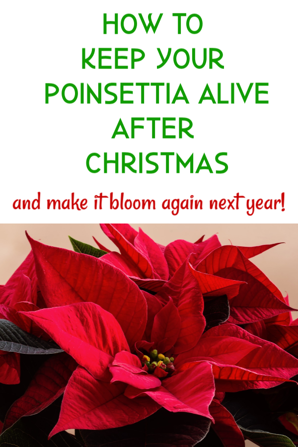 How To Grow Poinsettias After The Holidays Poinsettia Plant