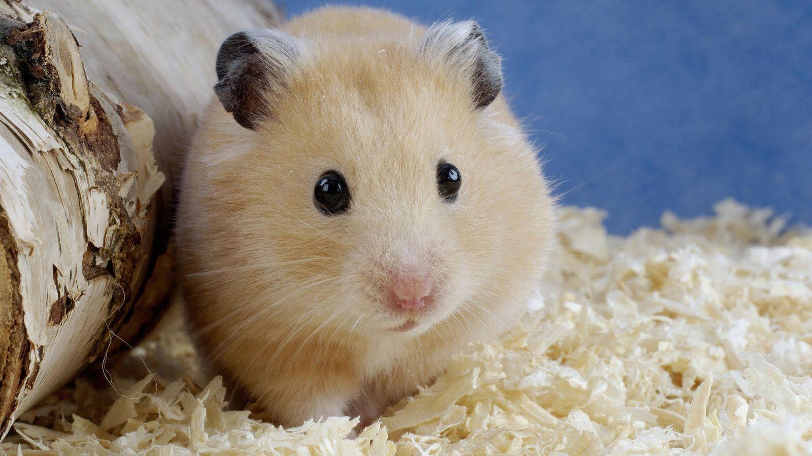 Free Wallpaper Archive 10 Hamster Wallpapers Little