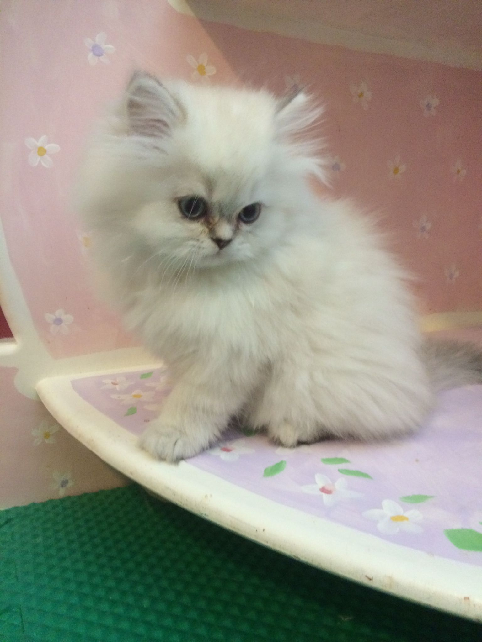Himilayan persian kitten at I have
