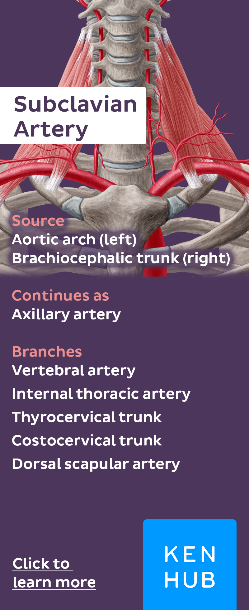Subclavian Artery And Its Branches Pinterest Subclavian Artery
