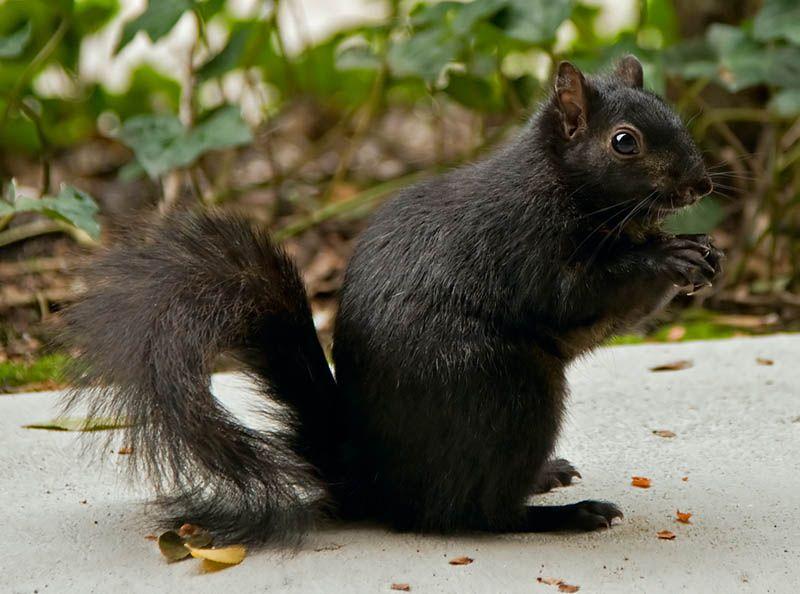 Black Squirrel Black Squirrel Melanistic Animals Albino Animals