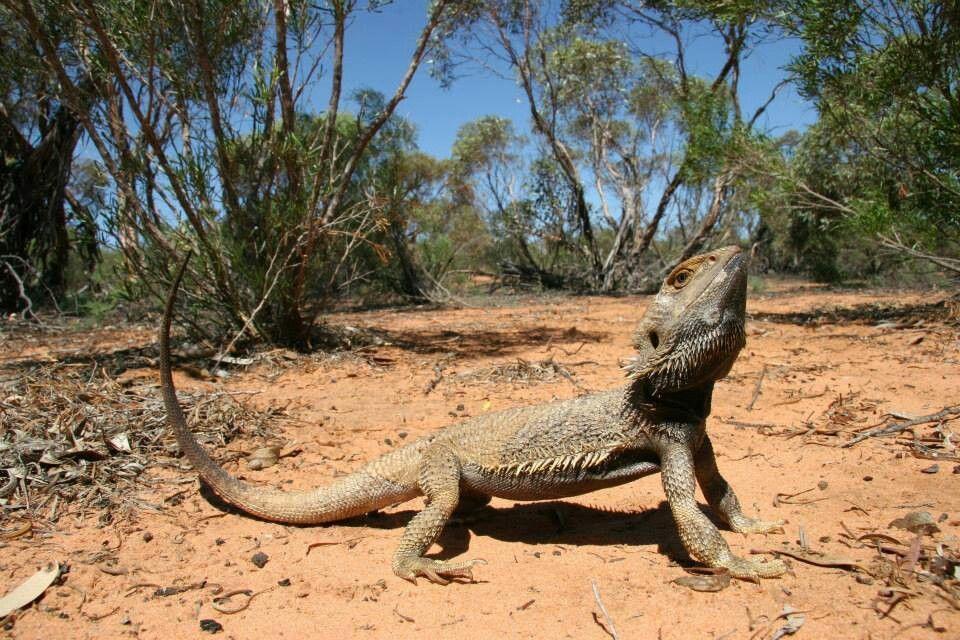 Bearded dragon in Australia | Natural Habitat | Bearded ...