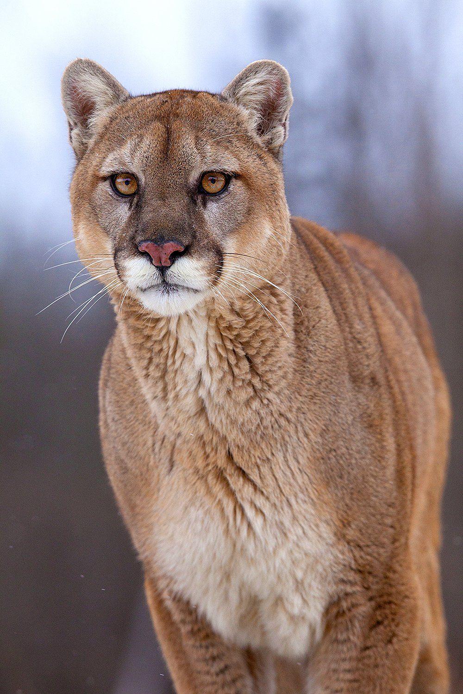 Mountain Lion in Minnesota Animals Wildlife Pinterest