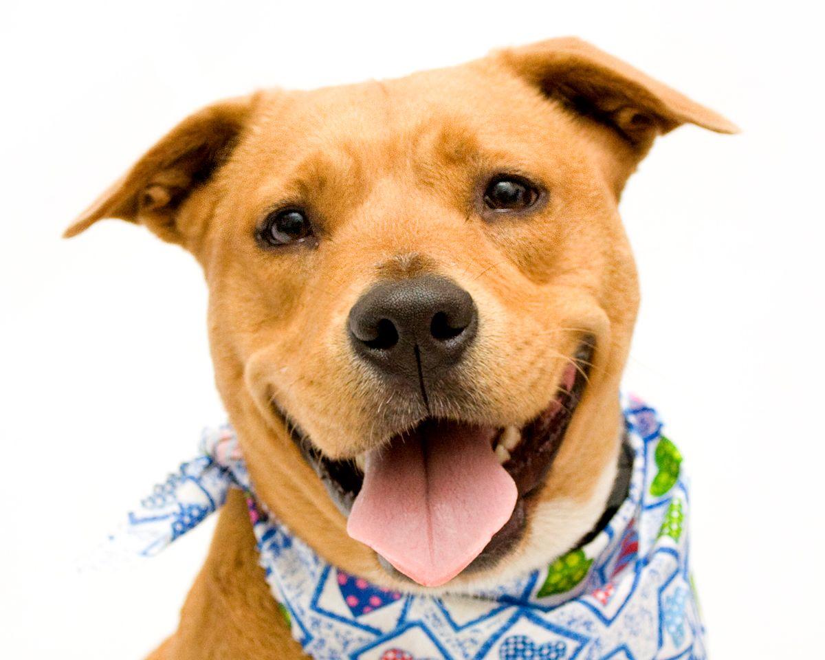 Labrador Retriever dog for Adoption in Sanford, FL. ADN
