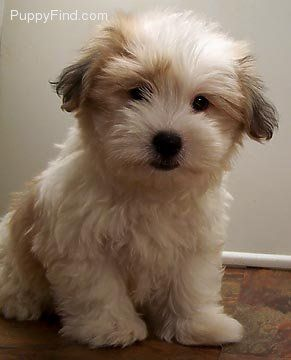 Coton De Tulear This Looks Just Like Teddy Beautiful