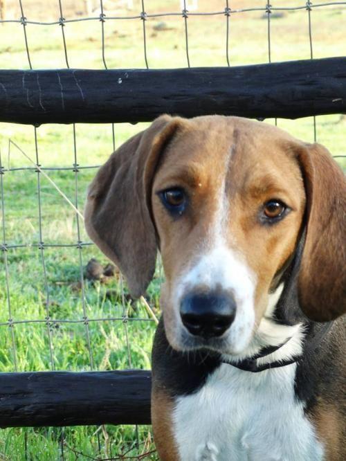 Meet Rose, a Petfinder adoptable Foxhound Dog