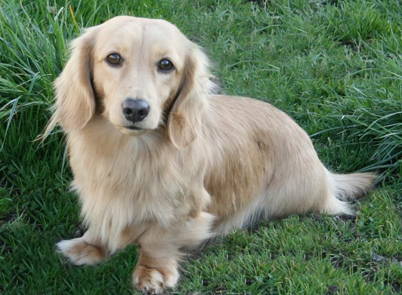 Longdox Creams Longhair English Cream Dachshund Breed Cream