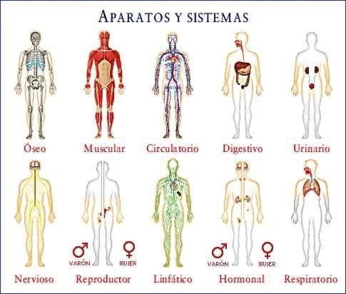 Pequena Infografia Resumen De Los Aparatos Y Sistemas Del Cuerpo