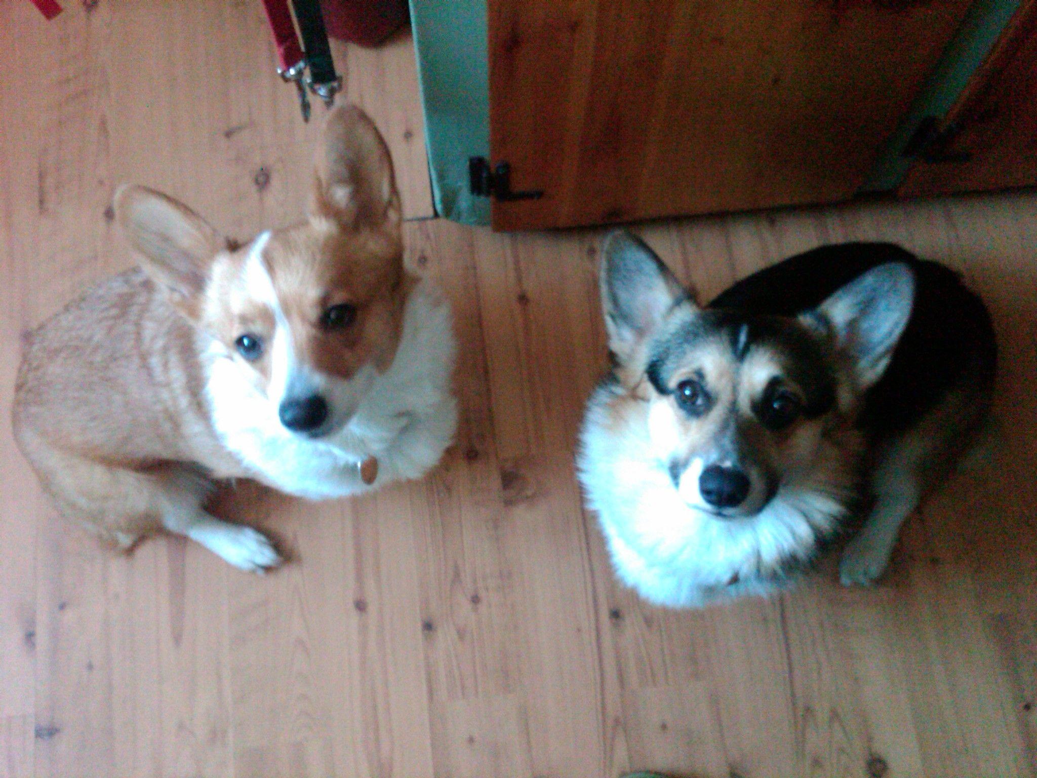 Our two Corgi kids.