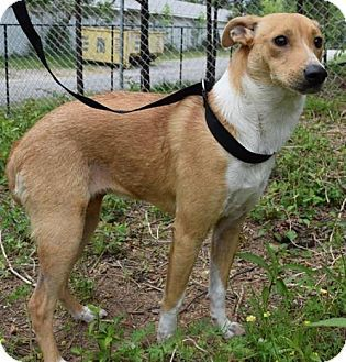 Hi! My name is Annabella! (Whippet Mix). Whippet, Dog
