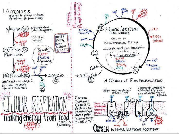 Cellular respiration worksheet high school biology