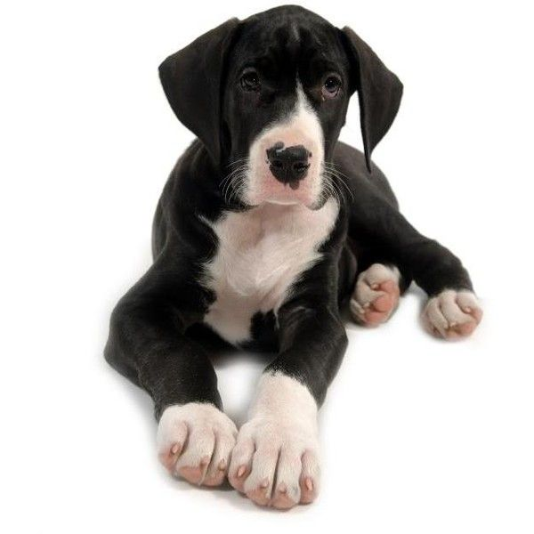 Great Dane Puppy Pictures Liked On Polyvore Featuring Animals