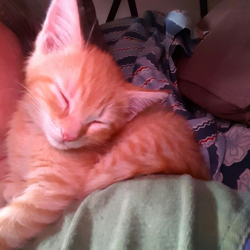 Our Tabby Kitten Marti Loves Sleeping On My Shoulder Snuggled Next To My Neck Feeling My Pulse Tabby Kitten Kittens Tabby