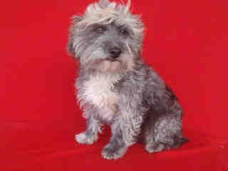 3948My name is Divid and I am a neutered male, black and gray Terrier mix.  The shelter thinks I am about 3 years old.  I have been at the shelter since Apr 27, 2014.Terrier mix3 yrNorth Central Animal Care and Control Center