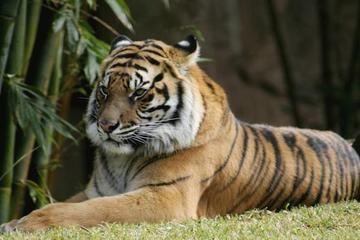 TC02 BENGAL TIGER CUBS CROSS STITCH CHART BN!