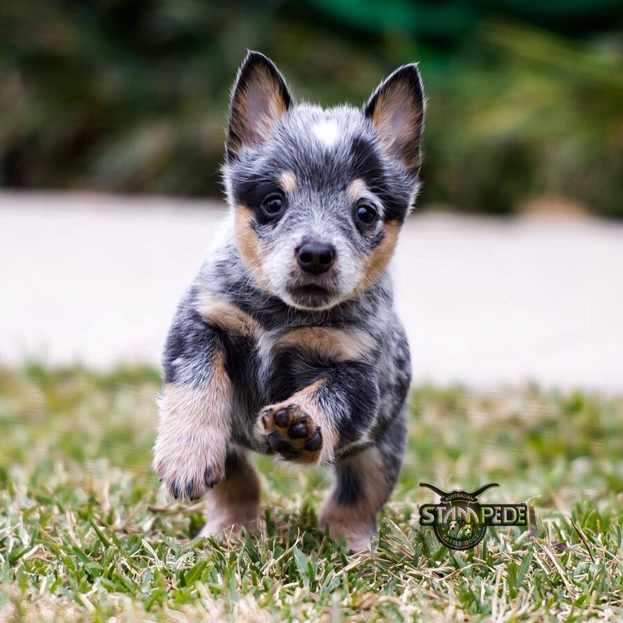 Australian Cattle Dog Puppy Heeler Puppies