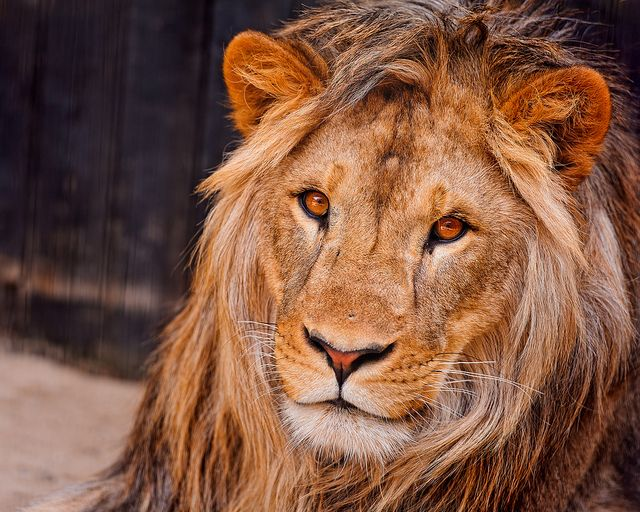 Portrait of the young Simba