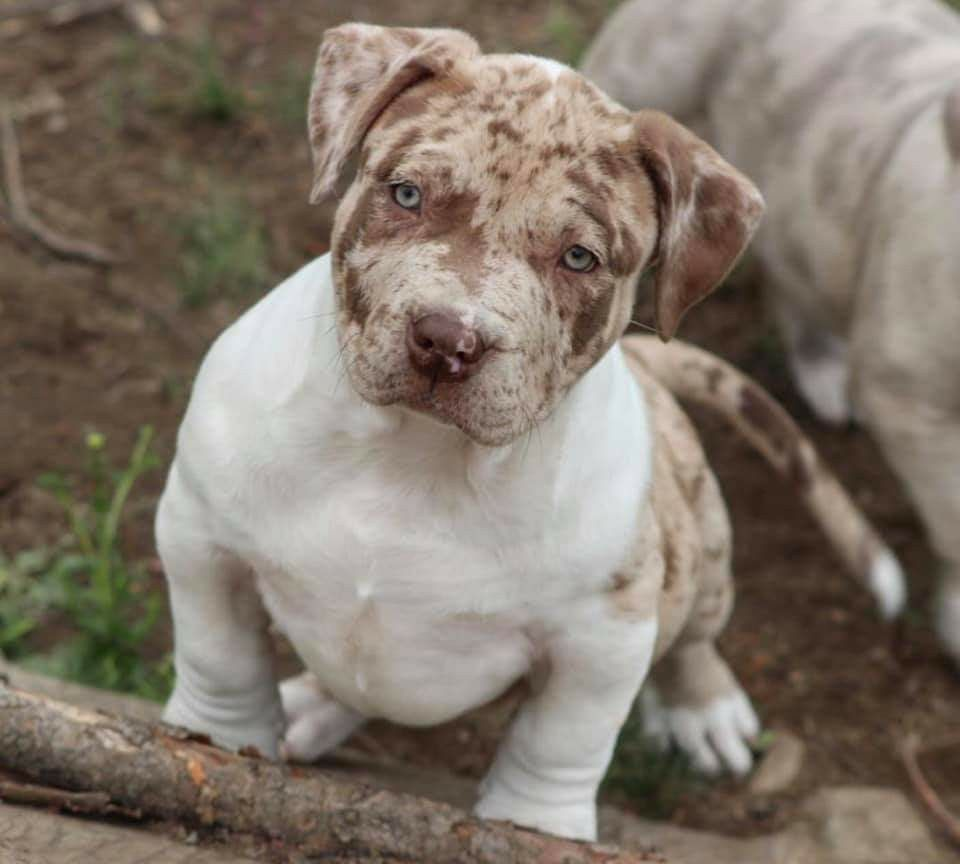 Dog Image By Tatyana Allen Happy Dogs Dogs And Puppies Pitbull Dog