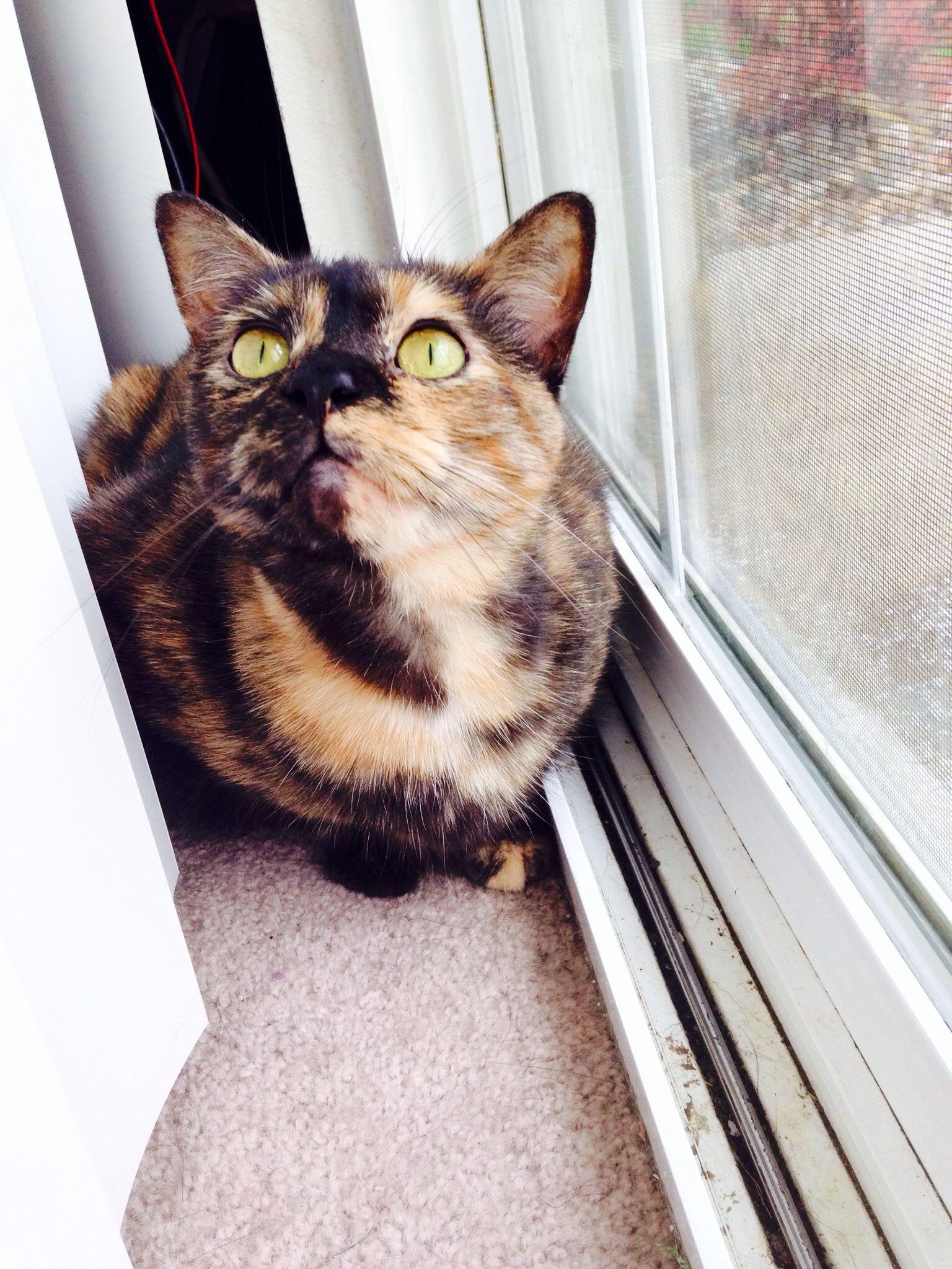 Miss Scarlett Torti Cat Pretty Cats Cats Calico Cat