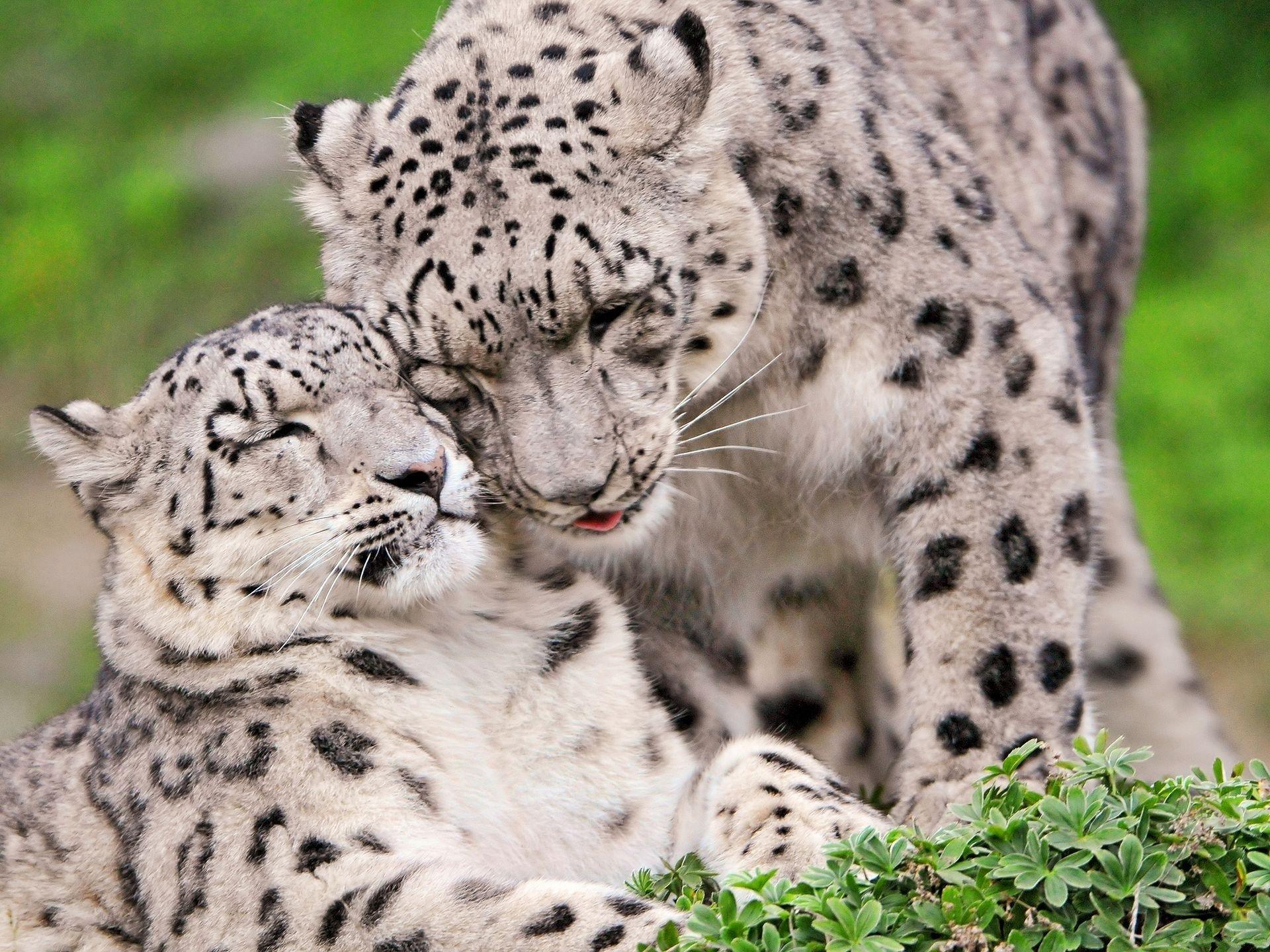 Snow Leopard Wallpaper 1080p Windows Nevaeh Holiday 1920x1440