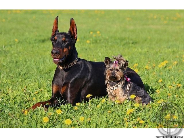 Wanted to buy Doberman Pinscher pups in Mumbai