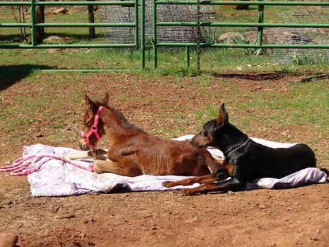 Dobie at the Wild Horse Sanctuary in Shingletown, CA, watching over a baby filly who lost her mama.