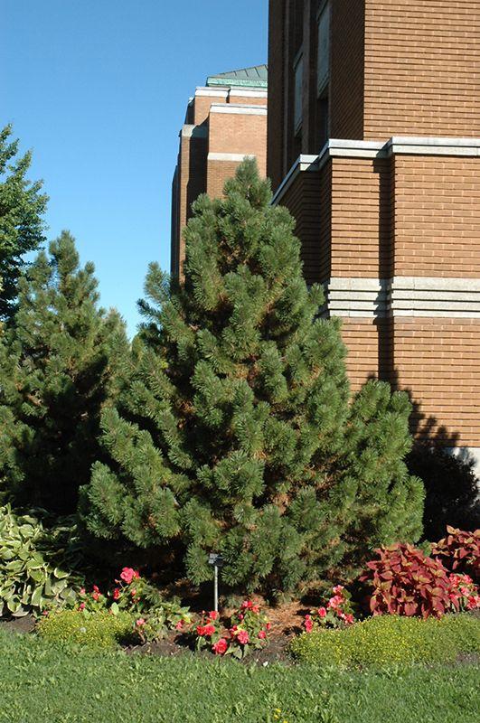 click to view full-size photo of tannenbaum mugo pine (pinus mugo,