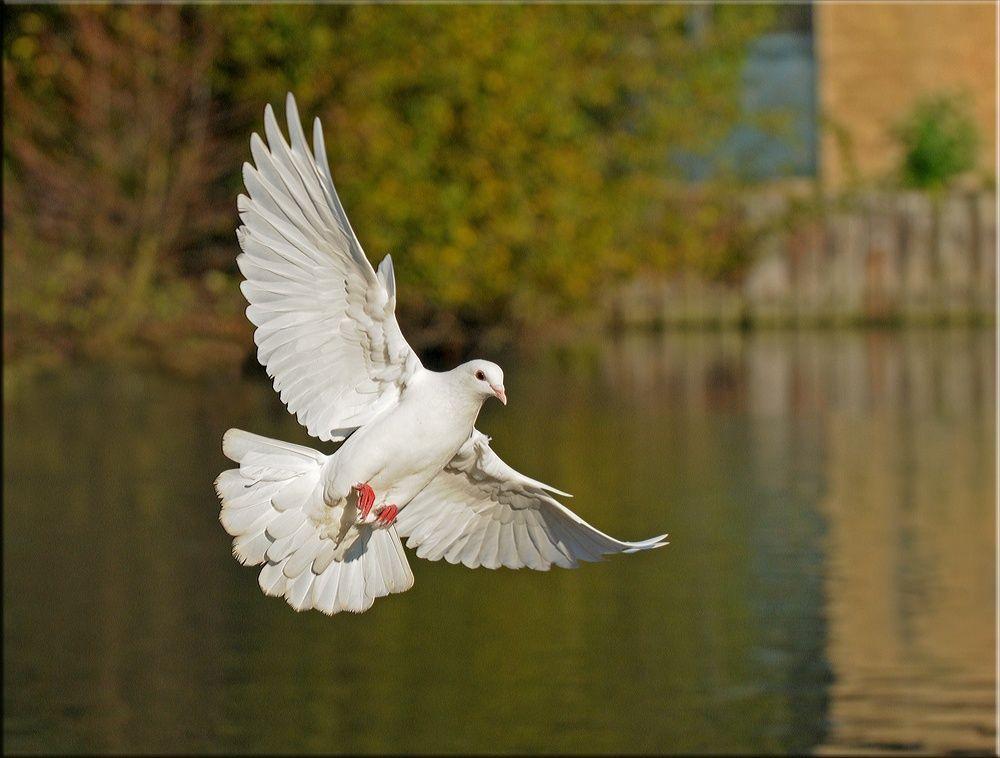 Картинки парящих голубей