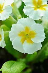 Polyanthus 'Winter White'