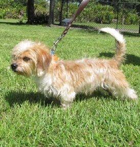Schweenie Dachshund Shih Tzu Mix Info Puppies Temperament