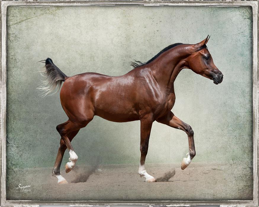 Ferrari Horse Breed
