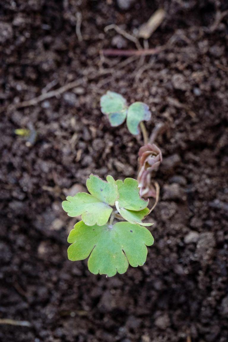 Unkraut Fruh Erkennen Mit Bildern Unkraut Akelei Pflanzen Erkennen
